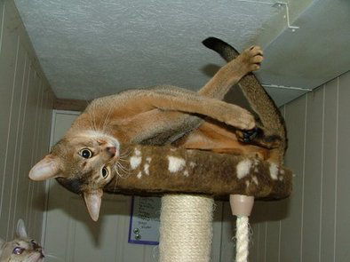 Abyssinian Cat Ohio